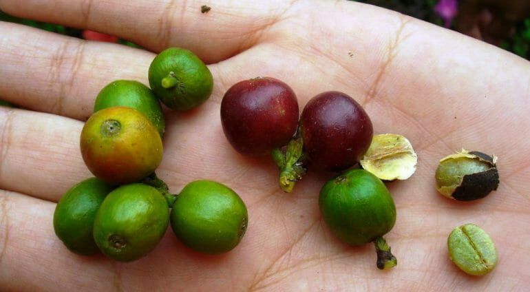 Coffee beans at different stages of maturity
