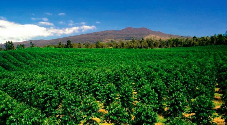 Kona Coffee plantation Hawaii