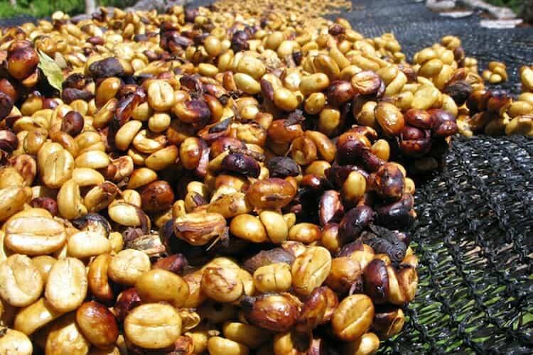 honey processed coffee
